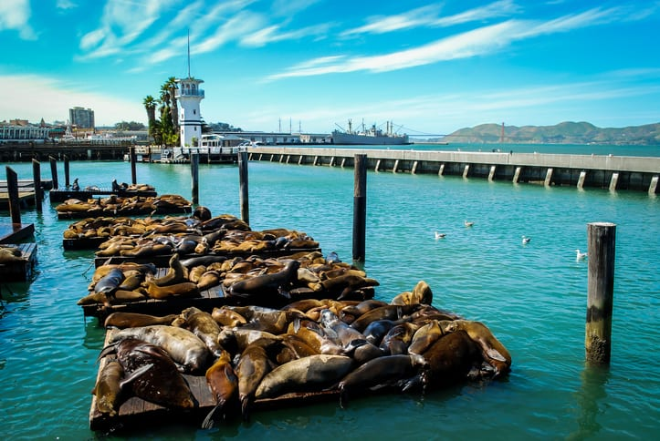 Seals laying on barges on San Francisco Bay